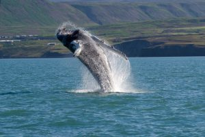 Whale show near Husavik City in Iceland.