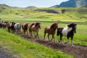 Icelandic horses galloping down a road, rural landscape, illuminated by sun, Iceland